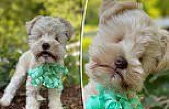Puppy born with no eyes dumped by breeder who bred runts to create the smallest ...