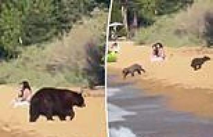 Black bears play in water and sun themselves at Lake Tahoe while surrounded by ...