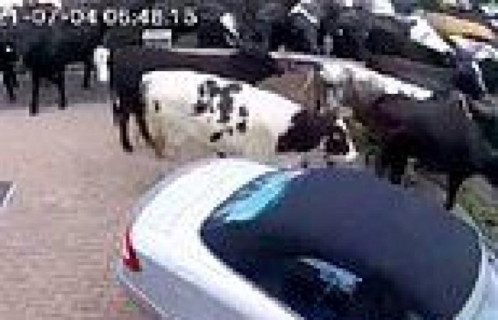 200 cows bring chaos to a Cheshire cul-de-sac after escaping from a farm three ...