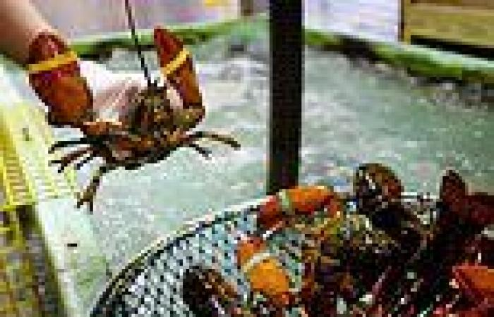 Ministers could ban lobsters from being boiled alive