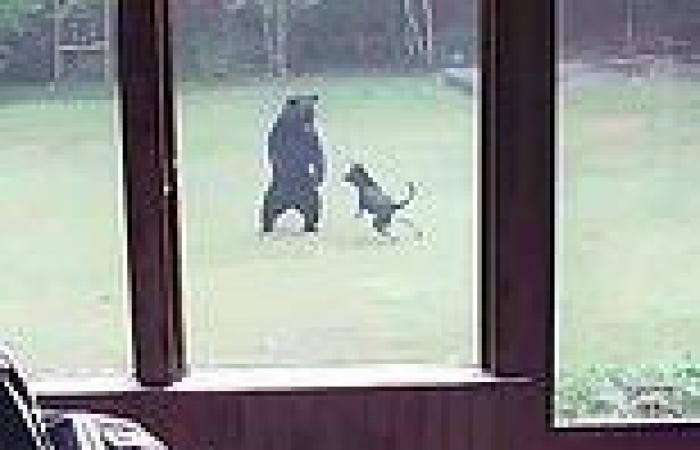 German Shephard makes friends with black bear as the pair chase each other in ...