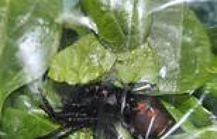 Queensland man finds finds live spider in fresh baby spinach bought from ...
