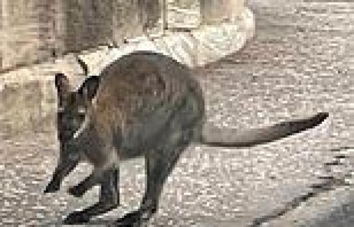 Wildlife park staff launch urgent hunt for fugitive Aussie animal that burst ...