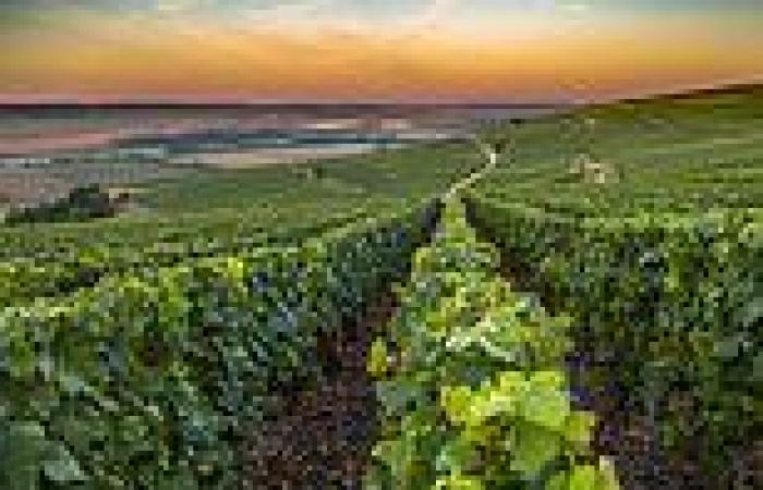 Champagne vines given room to grow as rule demanding distance between plants is ...