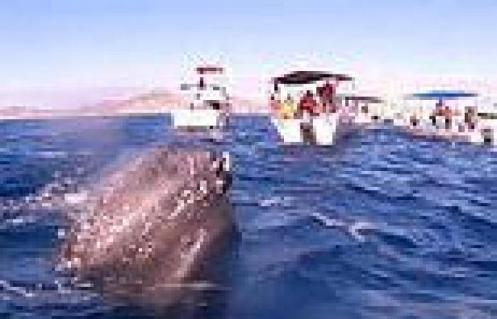 Moment a friendly humpback surfaces near whale-watchers' boats