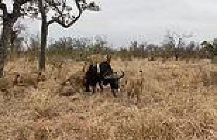 VIDEO: Buffalo herd fights off a pride of lions on South African game reserve