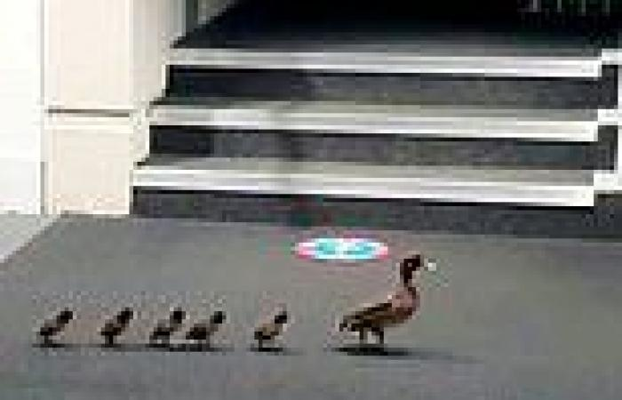 VIDEO: Ducks waddle into a university library