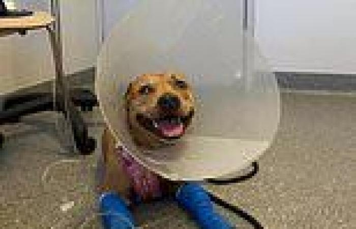 Brave staffy named Milly left fighting for life after protecting her 'little ...