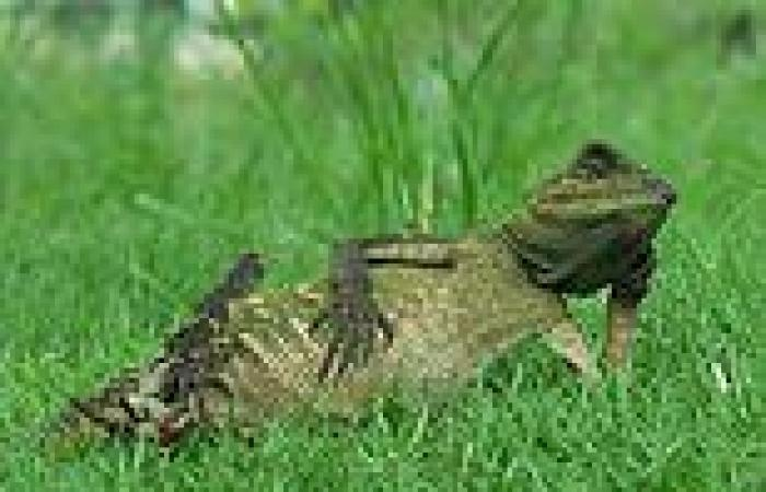 And... relax! This laid-back lizard cuts a chilled figure as it reclines in ...