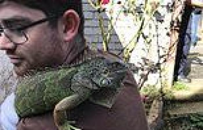 Liz-ard to catch! Ronnie the runaway iguana is rescued from pub roof by the ...