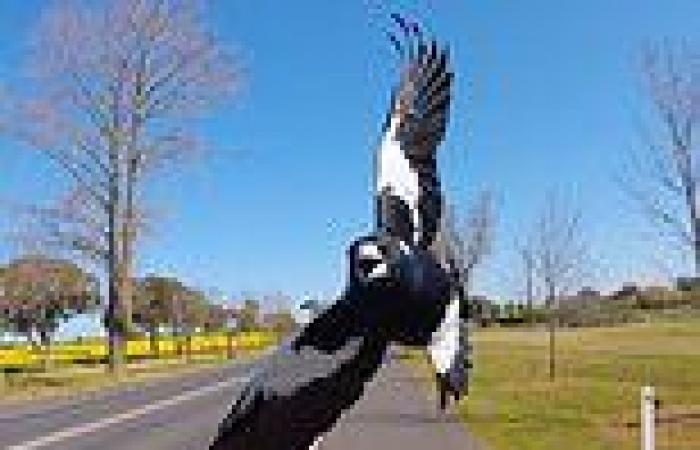Magpie is killed after multiple swooping incident left Lane Cove, Sydney ...