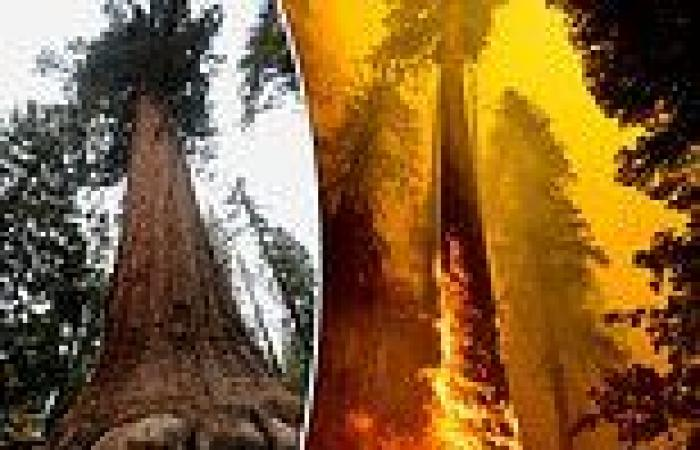 California wildfires may have killed hundreds of giant sequoias