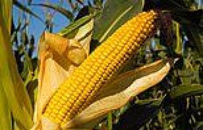 Hybrid sweet corn planted at high densities has steadily increased its yield ...
