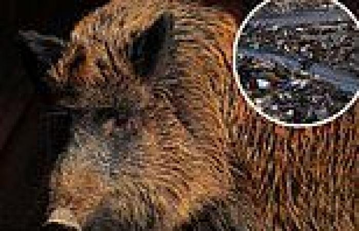 Wild boars and snakes haven't suffered from radiation at Fukushima nuclear ...