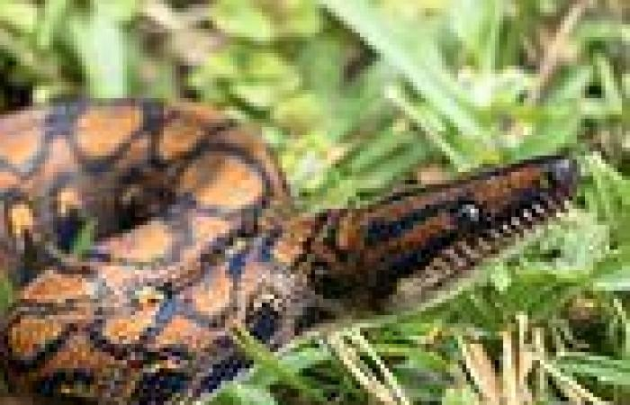 Snakes experienced a sudden burst of evolution after the dinosaurs were wiped ...