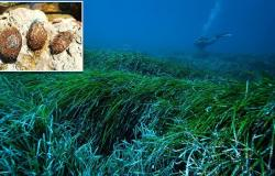 Seagrass 'Neptune balls' are found to sieve MILLIONS of plastic particles from ...