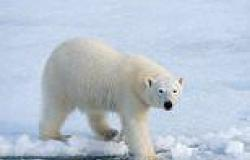 Polar bears are exposed to TOXIC 'forever' chemicals as they are released from ...