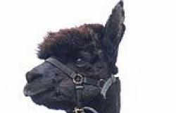 Minister refuses last-ditch pleas to save beloved alpaca's life